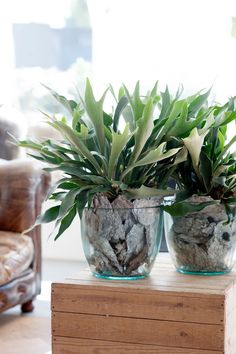 Cesta Plantas Bahamas, Regalar Plantas en un Cumpleaños, Planta de Regalo, Floristería Online, Planta de Regalo para un Despacho